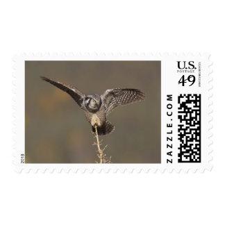 El búho de halcón septentrional examina el bosque sellos