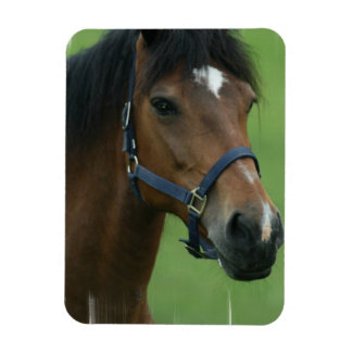 El caballo árabe representa el imán