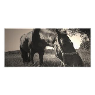 El caballo descansa la foto blanco y negro