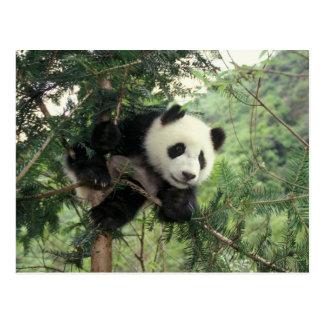 El cachorro de la panda gigante sube un árbol, tarjeta postal