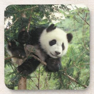 El cachorro de la panda gigante sube un árbol, val posavaso