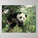 El cachorro de la panda gigante sube un árbol, val póster