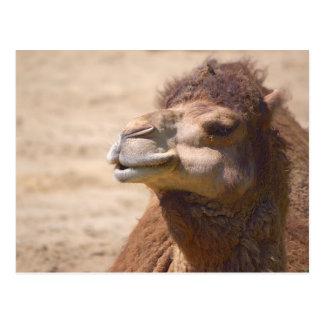 El camello del dromedario - postal