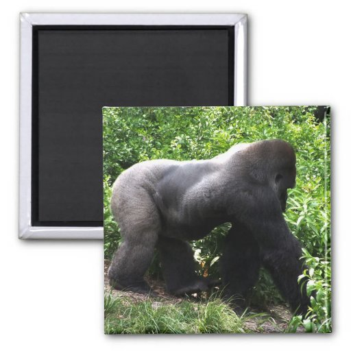 El caminar del gorila del Silverback sideway Imán De Nevera