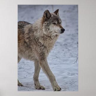 El caminar del lobo orgulloso impresiones