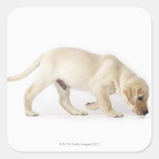 El caminar del perrito del labrador retriever pegatinas cuadradases