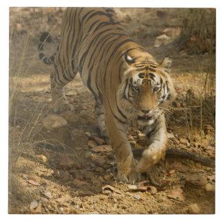 El caminar del tigre de Bengala Azulejo Cuadrado Grande