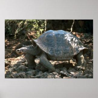 El caminar en forma de cúpula gigante de la tortug poster