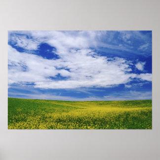 El campo de Canola o de la mostaza florece, Palous Póster