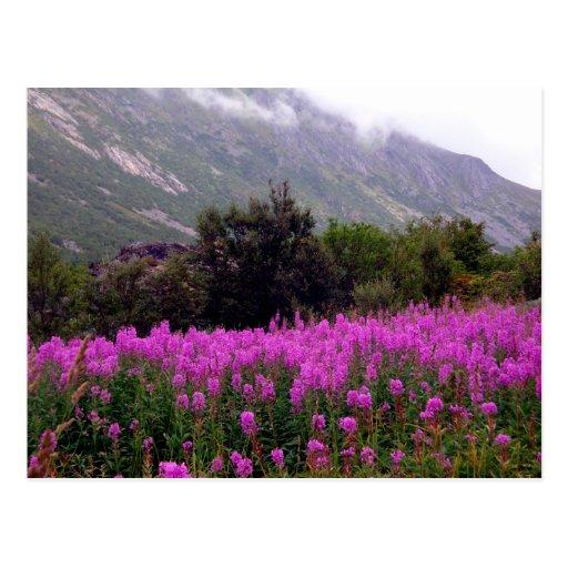 El campo de flores salvajes acerca a Bodo, Noruega Tarjeta Postal