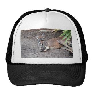 el canguro que se acuesta observa el animal gorras