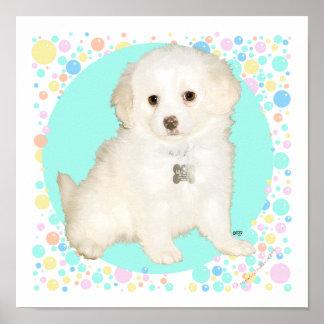 El caniche el perrito de la mezcla de Bichon celeb Posters
