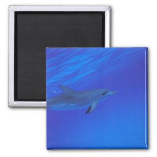 El Caribe, Bahamas manchó el delfín Imán Cuadrado