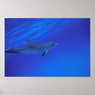 El Caribe, Bahamas manchó el delfín Póster