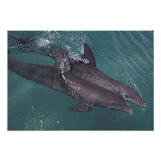 El Caribe, Tursiops 10 de los delfínes de Bottleno Fotografía
