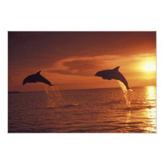 El Caribe, Tursiops 10 de los delfínes de Bottleno Cojinete