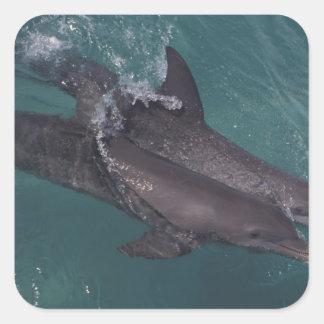 El Caribe, Tursiops 10 de los delfínes de Pegatina Cuadrada