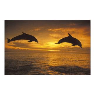 El Caribe, Tursiops 12 de los delfínes de Bottleno Fotografías