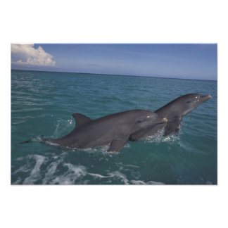 El Caribe, Tursiops 16 de los delfínes de Bottleno Cojinete