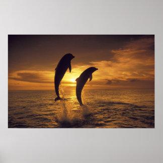 El Caribe, Tursiops 16 de los delfínes de Bottleno Póster