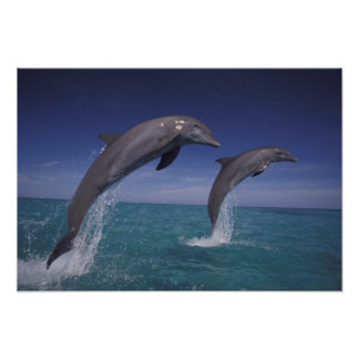 El Caribe, Tursiops 2 de los delfínes de Bottlenos Póster