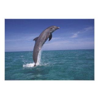 El Caribe, Tursiops 2 del delfín de Bottlenose Fotografía