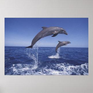 El Caribe, Tursiops 3 de los delfínes de Bottlenos Póster