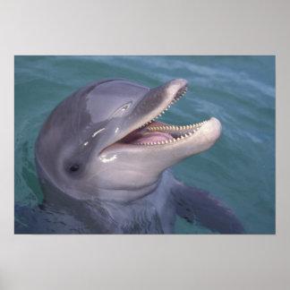 El Caribe, Tursiops 4 del delfín de Bottlenose Póster