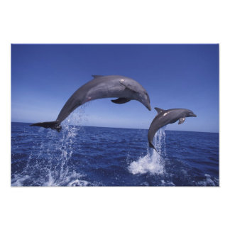 El Caribe, Tursiops 6 de los delfínes de Bottlenos Fotografía