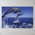 El Caribe, Tursiops 6 de los delfínes de Bottlenos Posters