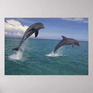 El Caribe, Tursiops 7 de los delfínes de Bottlenos Póster