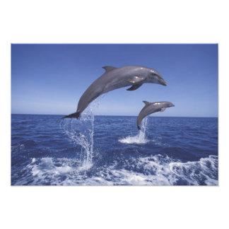 El Caribe, Tursiops de los delfínes de Bottlenose Cojinete