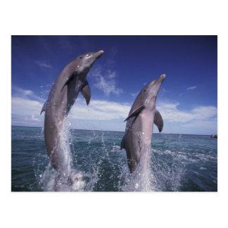 El Caribe, Tursiops de los delfínes de Bottlenose Postales
