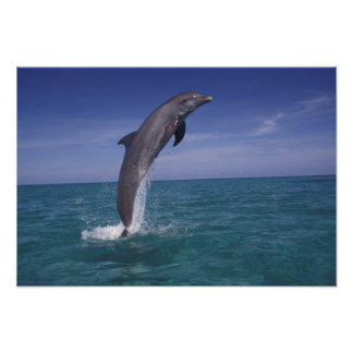 El Caribe, Tursiops del delfín de Bottlenose Póster