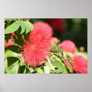 El cepillo de botella florece la flor roja del árb poster