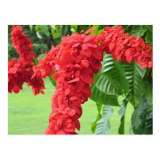El Chaconia, la flor nacional Tarjeta Postal