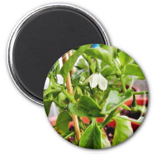El chile planta verde imán redondo 5 cm