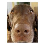 el chocolate Labrador hace frente Tarjetas Postales
