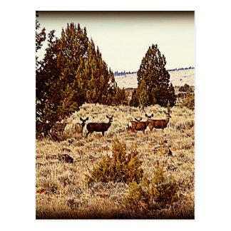 El ciervo mula hace postal