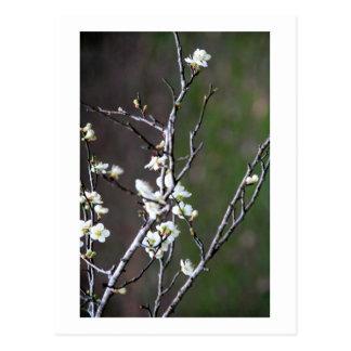 El ciruelo verde florece fotografía tarjetas postales