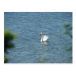 El cisne hermoso postal