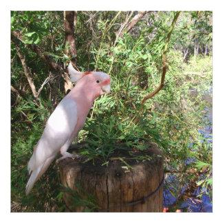 El cockatoo de un Mitchell importante rosado en un Cojinete