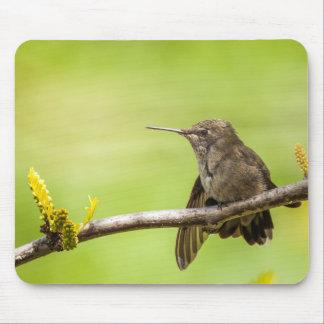 El colibrí de Ana en descanso Mouse Pad