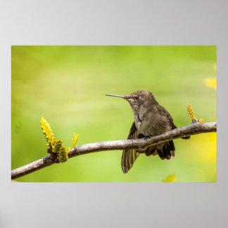 El colibrí de Ana en descanso Póster