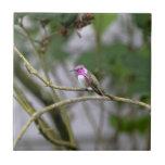 El colibrí de la costa azulejos