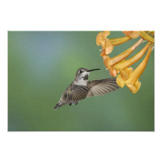 El colibrí de la costa, costas de Calypte, jovenes Fotografía