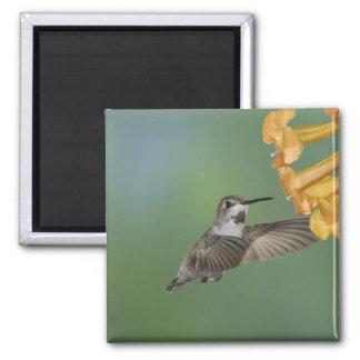 El colibrí de la costa, costas de Calypte, jovenes Iman De Nevera