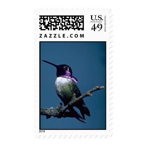 El colibrí de la costa, costas de Calypte, Sellos