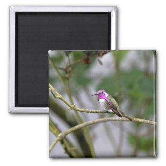 El colibrí de la costa imán de nevera