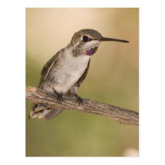 El colibrí de la costa masculina no madura en la postales
